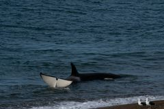 Orca - Orca beaching on punta norte, patagonia argentina. Orca beaching on Punta Norte , Peninsula Valdes , Argentina stock photo