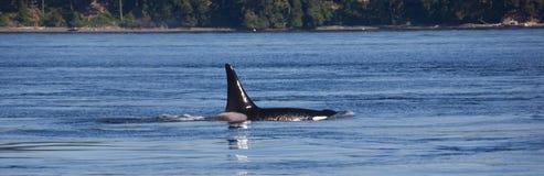 Orca che salta dall'acqua (orcinus orca) Fotografia Stock