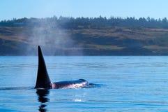 Orca che si alimenta nel San Juan Islands Fotografia Stock Libera da Diritti