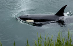 Orca Close to Shore royalty free stock images
