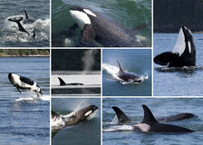 Orca Collage stock photography