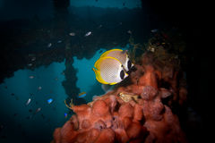 Orca. Colourfoul butterfly fish on soft coral under the Navy Pier Royalty Free Stock Photo
