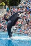 Orca da baleia de assassino que salta da água no mundo do mar fotografia de stock