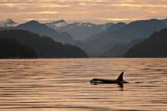 Orca at Dawn. Single Killer Whale Swimming in Calm Water Reflecting Dawn Colors with Mountains in Background Royalty Free Stock Photography