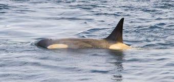 Orca de la costa de la Antártida imágenes de archivo libres de regalías