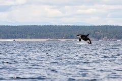 Orca de salto fotos de archivo