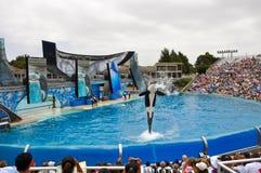 Orca del mundo del mar Imagen de archivo