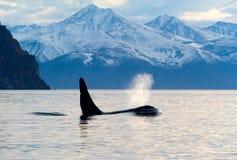 Orca del Orcinus Imagenes de archivo