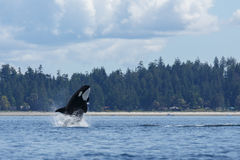 Orca di salto Fotografia Stock