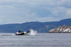 Orca di salto Immagini Stock