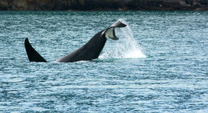 Orca diving with uplifted tail Stock Photo