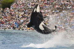 Orca do mundo do mar Fotos de Stock Royalty Free