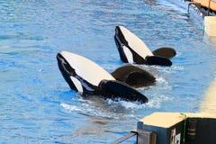 Orca do Orcinus da baleia de assassino foto de stock royalty free