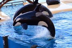 Orca do Orcinus da baleia de assassino imagens de stock royalty free