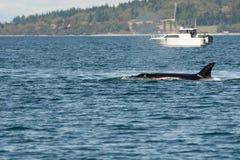 Orca e barca Fotografia Stock