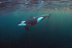 Orca en los fiordos de Noruega Imágenes de archivo libres de regalías