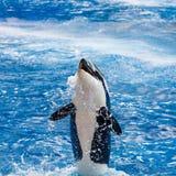 A orca está sorrindo acima da água Imagem de Stock Royalty Free