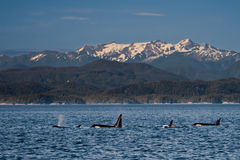 Orca Family. Small Pod of Orcas Swimming in Front of Snow Capped Mountains Stock Photography
