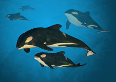 Orca Family. A family of orca whales swimming in the ocean Royalty Free Stock Photography