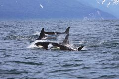 Orca family travelling Stock Photography
