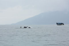 Orca family in the wilds Stock Image