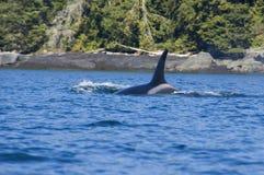 Orca femenina Fotografía de archivo libre de regalías