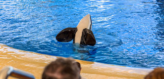 Orca Flippers Stock Photography