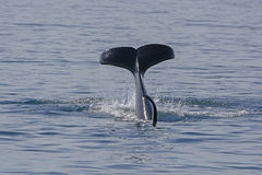 Orca Flukes showing when beginning its dive. In Prince William Sound in Alaska Stock Images