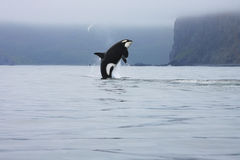 Orca jumping in the wild Stock Image