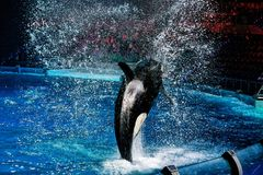 Killer whale during a speech at the aquarium in Moscow. Orca jumps out of the water. a lot of water splashing around. the light and brilliance of spotlights royalty free stock photography