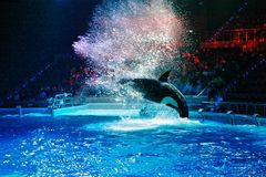 Killer whale during a speech at the aquarium in Moscow. Orca jumps out of the water. a lot of water splashing around. the light and brilliance of spotlights stock images