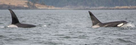 Orca K-pod whales. Panoramic of two orca K-pod whales breaking through the surface of the water stock photos