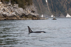 Orca Killer Whale. Dorsal fin in the sea at Seward, Alaska royalty free stock photo