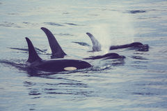 Orca. (Killer Whale) in Alaska royalty free stock images