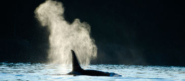 Orca Killer Whale Blowing Stock Photos