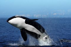 Orca (Killer Whale) breaching Stock Image