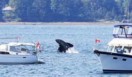 Orca Killer Whale Breaching between two Pleasure boats, close to shore. Vancouver Island, Canada stock photos