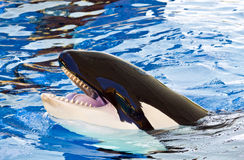 Orca or Killer Whale head, Orcinus Stock Photography
