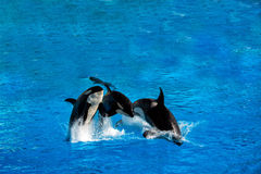 Orca killer whale while jumping stock photo