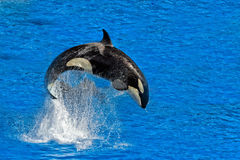 Orca killer whale while jumping. Outside the water royalty free stock image