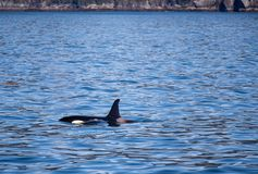 Orca Killer Whale in Kenai Fjords National Park in Seward Alaska USA. Orca Killer Whale in Kenai Fjords National Park in Seward Alaska United States royalty free stock image