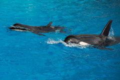 Orca killer whale mother and calf while swimming Royalty Free Stock Images