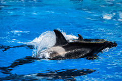 Orca killer whale mother and calf while swimming Royalty Free Stock Photo