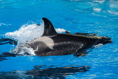 Orca killer whale mother and calf while swimming Stock Photography