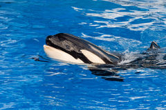 Orca killer whale mother and calf while swimming Stock Photos