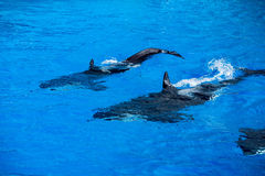 Orca killer whale mother and calf while swimming Royalty Free Stock Photography