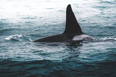 Orca Killer whale near the Iceland mountain coast during winter. Orcinus orca in the water habitat, wildlife scene from stock photos