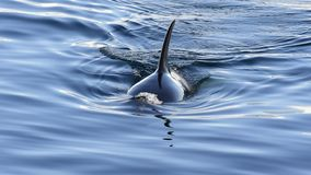 Orca, Killer Whale. Swiming towards ship in Antarctica stock footage