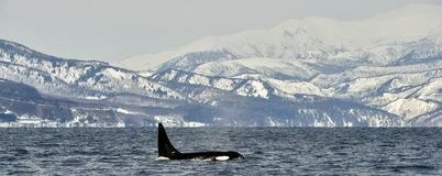 Orca or killer whale, Orcinus Orca. Orca or killer whale, Orcinus Orca, travelling in Sea of Okhotsk, Snow-covered mountains on the background Stock Photo