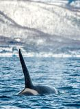 Orca or killer whale, Orcinus Orca stock image